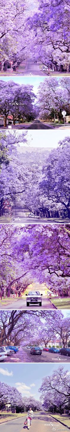 Jacarandas blooming in Pretoria. Pretoria, Out Of Africa, Africa Travel, Land Scape, Wonders Of The World, South Africa, Landscape Photography, Places To Go, Beautiful Places