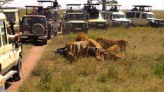 Lions capturing an African buffalo - Serengeti National Park - Tanzania - Parc National, National Parks, Zanzibar Beaches, African Buffalo, Serengeti National Park, Arusha, Wildlife Safari, Kilimanjaro, Beach Holiday