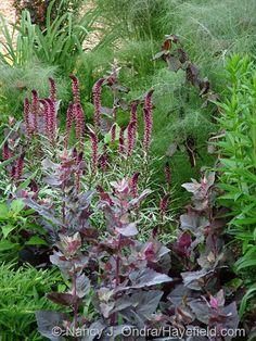 Red orach (Atriplex hortensis var. rubra) and bronze fennel (Foeniculum vulgare 'Rubrum') with Lysimachia atropurpurea [Nancy J. Ondra at Hayefield]