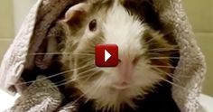 Listen to This Guinea Pig's Hilarious Interview - We KNOW You'll Smile :)