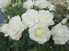 bílé krásky
