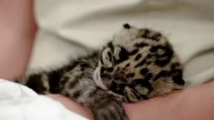 A sleepy clouded leopard kitten, at Tampa's Lowry Park Zoo. A sleepy clouded leopard kitten, at Tampa's Lowry Park Zoo. Leopard Kitten, Clouded Leopard, Leopard Cub, Baby Leopard, Leopard Animal, Puppies And Kitties, Cute Puppies, Cats And Kittens, Big Cats