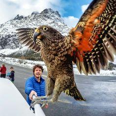 Si si ! c'est un perroquet ! c'est un Nestor kéa, il est grand et magnifique ! Cliquez sur j'aime si vous aimez :-)