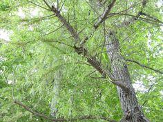 Sauce chileno Salix humboldtiana.MTSERRA