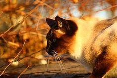 Kissa, Syksy, Siamese Cat