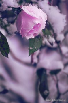 Photo winter-rose by Alex Kaufmann on flowers Rare Flowers, Pretty Flowers, Every Rose, Winter Rose, Love Rose, Color Rosa, Winter Garden, Beautiful Roses, Beautiful Things