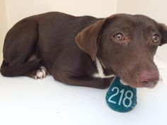 5/18/16 SL!! 04/29/16--HOUSTON- -EXTREMELY HIGH KILL FACILITY - This DOG - ID#A457812 I am a female, chocolate and white Dachshund mix. The shelter staff think I am about 1 year old. I have been at the shelter since Apr 29, 2016. This information was refreshed 3 minutes ago and may not represent all of the animals at the Harris County Public Health and Environmental Services.