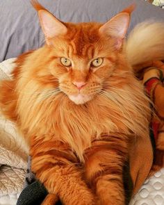 Maine Coon Temperament - Orange Cat - Ideas of Orange Cat - All red Maine www.mainecoonguid The post Maine Coon Temperament appeared first on Cat Gig. Gato Maine, Chat Maine Coon, Maine Coon Kittens, Ragdoll Kittens, Bengal Cats, Pretty Cats, Beautiful Cats, Animals Beautiful, Cute Animals