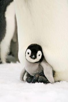 The only bird I like...baby penguin