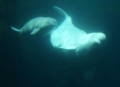 For nearly 30 years, a beluga whale named Martha has been imprisoned at SeaWorld…