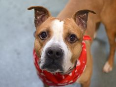 TO BE DESTROYED 01/20/15 Brooklyn Center-P. My name is BREEZE. My Animal ID # is A1025037.I am a male brown and white american staff mix. The shelter thinks I am about 3 YEARS old.  For more information on adopting from the NYC AC&C, or to  find a rescue to assist, please read the following: http://urgentpetsondeathrow.org/must-read/