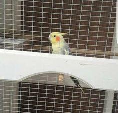 LOST COCKATIEL: 01/10/2017 - Wamberal, New South Wales, NSW, Australia. Ref#: L37376 - #CritterAlert #LostPet #LostBird #LostParrot #MissingBird #MissingParrot #LostCockatiel #MissingCockatiel