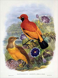 Richard Bowdler Sharpe_ Birds of paradise 28