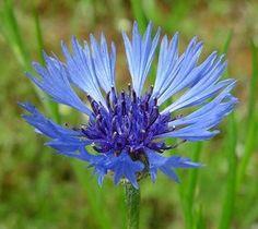 El Aciano, una planta medicinal para el reumatismo, digestiones lentas, vista cansada o varices