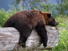 Nap Time by Carol S Bock - While in Alaska I had the opportunity to see and photograph a Grizzly Bear sleeping on a log. Black Bear, Brown Bear, Photo Ours, Funny Animals, Cute Animals, Wild Animals, Funny Bears, Bear Photos, Large Animals