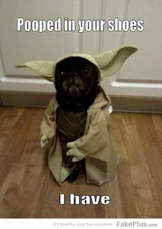 This pug has been dressed up as Yoda from Stars Wars and doesn't it suit? This black cute pug looks adorable. Another very funny pug meme to grace the internet! Funny Animal Pictures, Dog Pictures, Funny Animals, Cute Animals, Funny Photos, Bizarre Animals, Quote Pictures, Funniest Pictures, Pet Photos