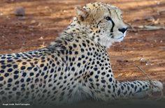 Cheetah by guest Mark Farrington
