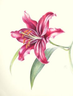 Oriental Hybrid Lily Lilium Mambo by Shevaun Doherty #botanical #art