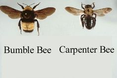 how to get rid of carpenter bees. leave the bumbles alone though! :)