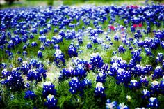 Every spring, my back lawn (1/2 acre) is completely blooming with our state flower, the beautiful Bluebonnett.