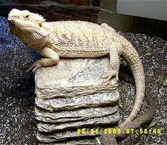 Google Image Result for http://www.dogbreedinfo.com/images12/BeardedDragonKillerGrown.jpg