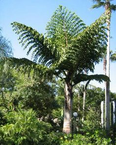 King Kong Palm (Caryota Gigas) or also known as the Thai Mountain Giant Palm-- up to 80 feet tall, but wants water, so near a lawn in courtyard?