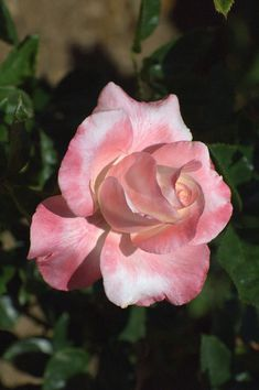 'Crescendo' | Hybrid Tea Rose.