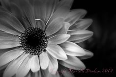 Nature Photography Flower Daisy Gerbera Infrared--Fine Art Black and White Photography 8x12. $30.00, via Etsy.