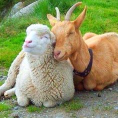 Goat and Sheep nuzzle time