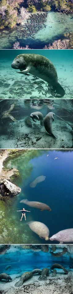 Swim with manatees in Three Sisters Springs, Crystal River, Florida