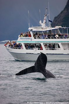 Humpback Whale, Kenai Fjords National Park, Alaska (summer)