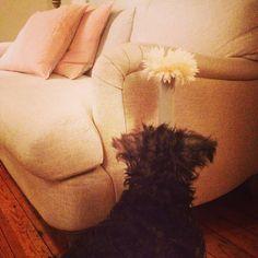 Miniature schauzer puppy, Loaf Jonesy sofa
