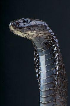 "mychestpainwantsacigarette: "" drxgonfly: "" Morrocan cobra / Naja haje legionis (by "" Indian cobra "" Pretty Snakes, Cool Snakes, Colorful Snakes, Beautiful Snakes, Animals Beautiful, Scary Snakes, Les Reptiles, Cute Reptiles, Reptiles And Amphibians"