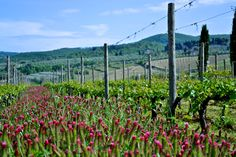 spring's color explosion  the vineyards