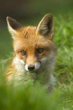 Red Fox Cub by David Chapman