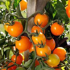 E. Brenckle - Rustica Tomate Cocktail, Plantation, Summer Garden, Vegetables, New York, Gold, Gardens, Potager Garden, New York City