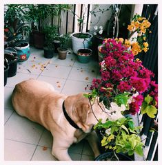 This pic is part of Anuradha Singh's Home Tour at Noida on The Keybunch decor blog - Buster (dog) adding oomph to her flower-laden balcony, as he casually looks out into the street below! Old Antiques, Antique Shops, London Map, Madhubani Painting, Blue Pottery, Indian Home Decor, My Furniture, Victoria And Albert Museum, Decorating Blogs