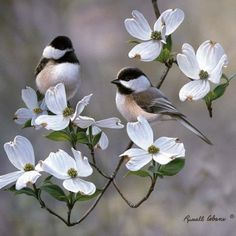 Chickadee in dogwood tree. I want dogwood trees outside my house. Pretty Birds, Love Birds, Beautiful Birds, Animals Beautiful, Two Birds, Wild Birds, Black Capped Chickadee, Dogwood Trees, Dogwood Flowers