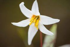 Erythronium caucasicum. Photo Jason Ingram