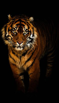 Tiger in the night by Tim Abeln Photography and Digital Art Prints. A tiger on a black background will look awesome on your bedroom wall! This powerful feline predator moves with a deadly grace, its reddish-orange fur slashed with black stripes, always ready to jump its prey.
