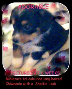 This cute Chiweenie will definitely have a miniature Australian Shepherd, or Sheltie look when grown up. 9 or 10 pounds at adult size! Chiweenie Puppies, Sheltie, Australian Shepherd, 10 Pounds, Growing Up, Miniatures, Cute, Aussie Shepherd, Kawaii