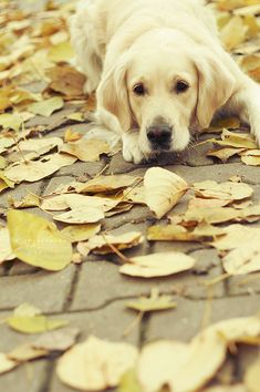 """""""...my yellow dog used to lie down, with his tongue all limp and his chin between his paws..."""""""