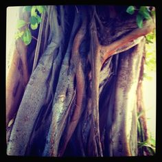 Banyan Trees in the Keys