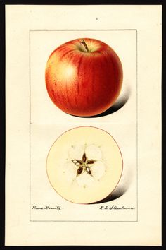 Rome Beauty Apple, watercolor, Royal Charles Steadman, b. 1875 (via U.S. Department of Agriculture Pomological Watercolor Collection. Rare and Special Collections, National Agricultural Library, Beltsville, MD 20705)