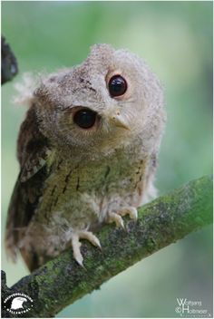 Indian Scops Owl by Wolfgang Holtmeier Elf Owl Resident in southwest U. Baby Owls, Baby Animals, Cute Animals, Beautiful Owl, Animals Beautiful, Elf Owl, Owl Photos, Owl Always Love You, Owl City
