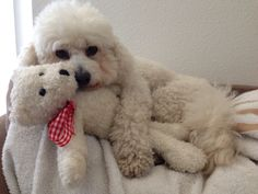 Totally Adorable Bichon Frise Puppy with its Teddy Bear!