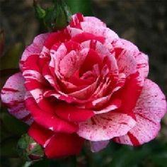 10 pcs Rare Red Stripe Rose Bush Seeds White Dragon USA Seller Free Shipping