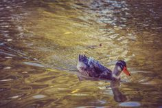#animals #animal #hayvan #ördek #duck
