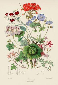 Античные ботанические литографические печати от Twining