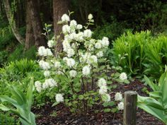 Fothergilla gardenii.  Deciduous shrub native to southeastern US.  3' to 6' tall.  Rounded to upright oval shape. Blooms early May.  Fall foliage red-orange-purple.  Partial shade to full sun. Light fragrance.